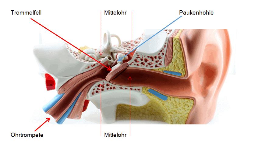 Mittelohr Grafik